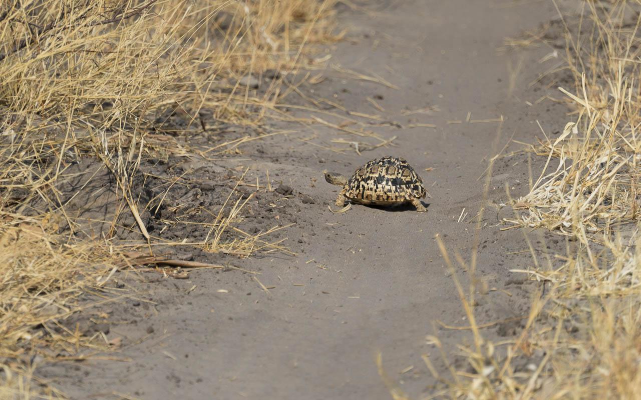 Autofahren Botswana Tipps Tiere Schildkröte