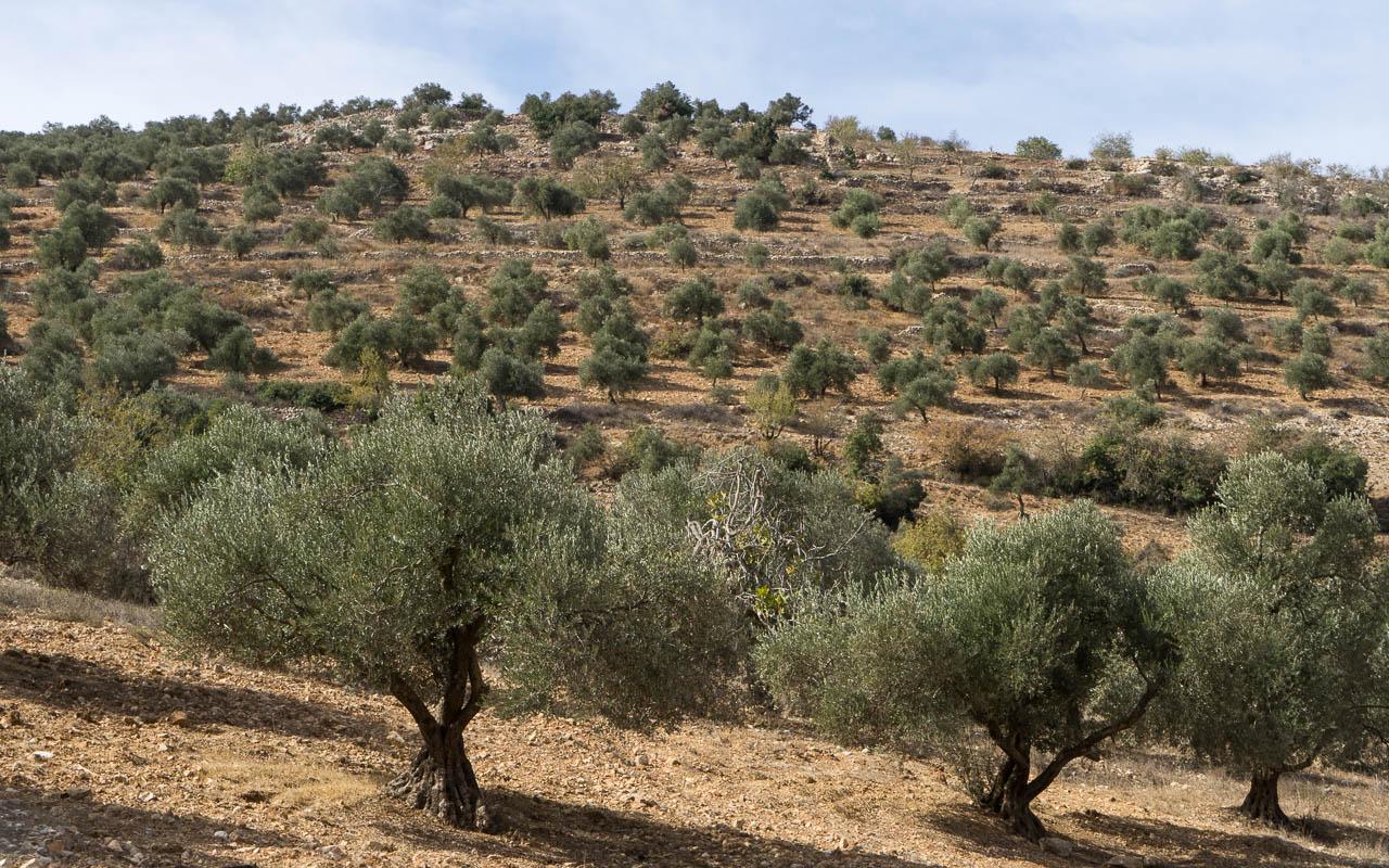 Olivenhaine in Ajloun - das grüne Gold Jordaniens