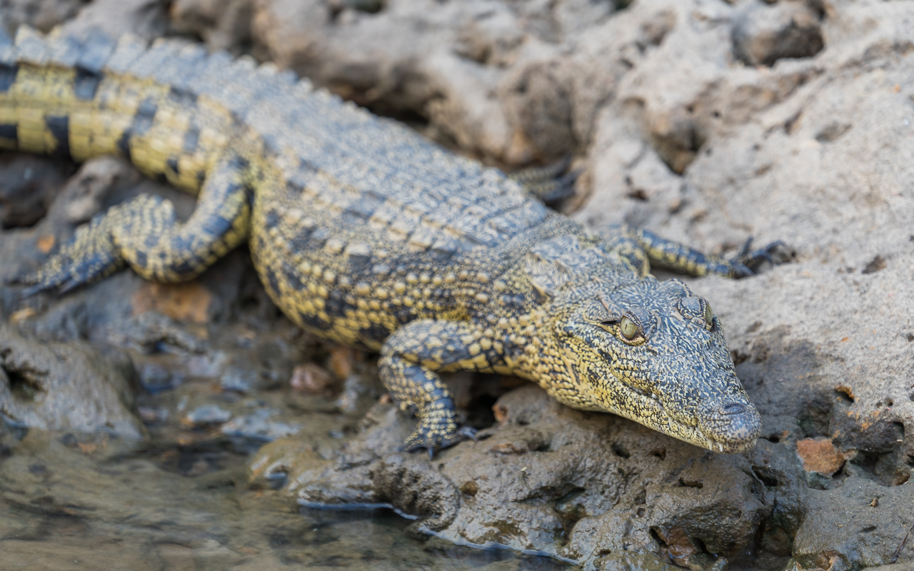 reisebericht-namibia-okavango-bootscruise-krokodil