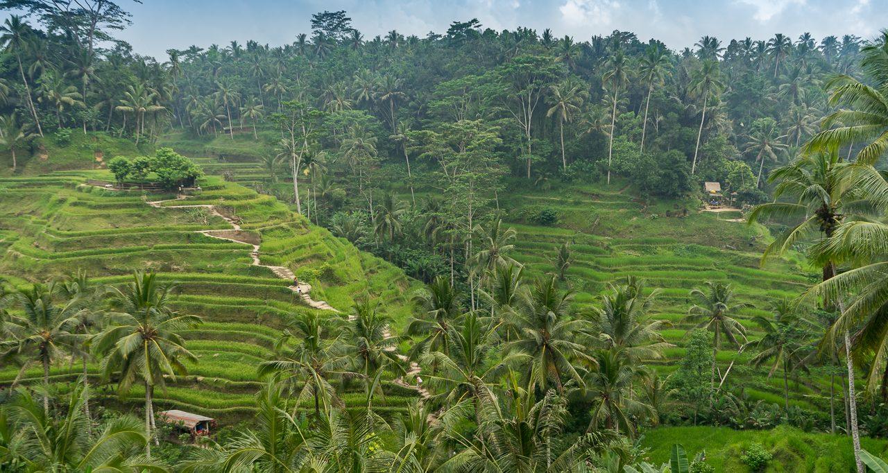 Reisterrassen Tengalalang bei Ubud in Bali