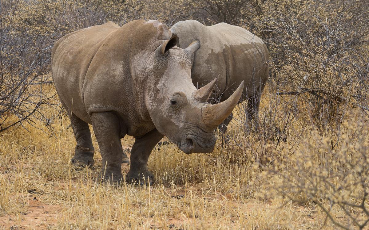 Rhino Drive Waterberg Plateau Nashorn
