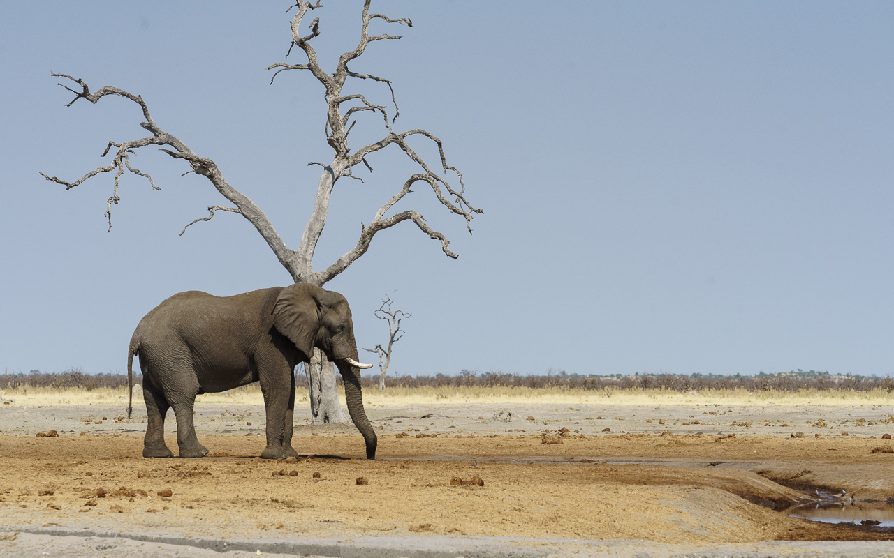 botswana-reisebericht-savuti-elefant