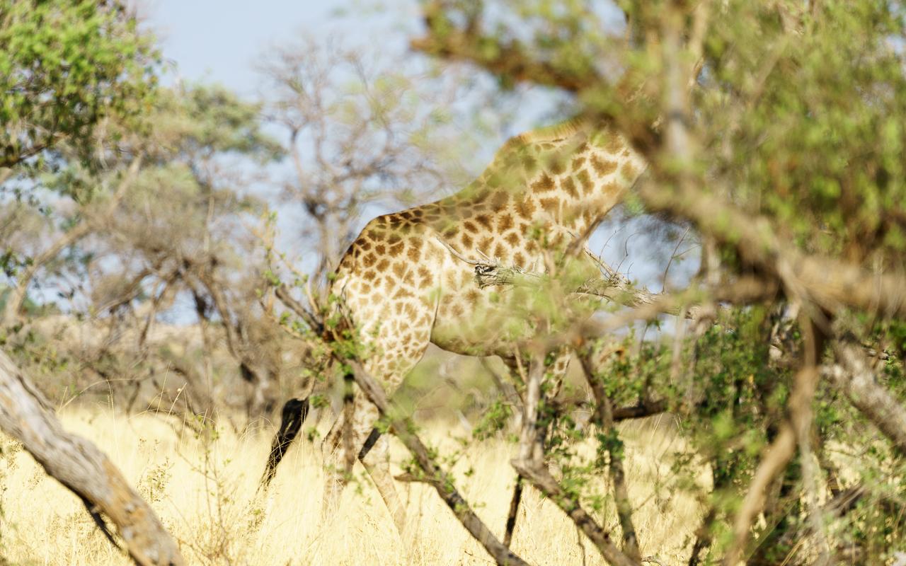 botswana-reisebericht-savuti-giraffe-versteck