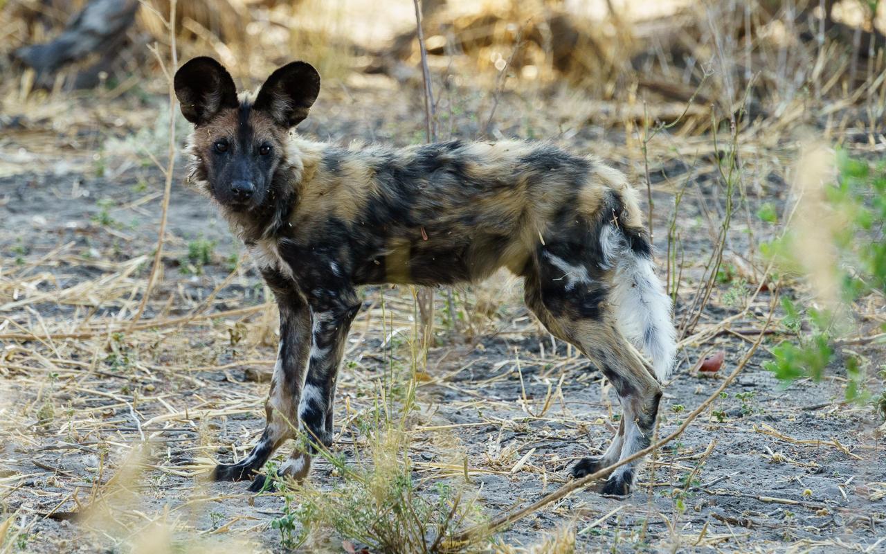 botswana-reisebericht-savuti-junger-wild-dog