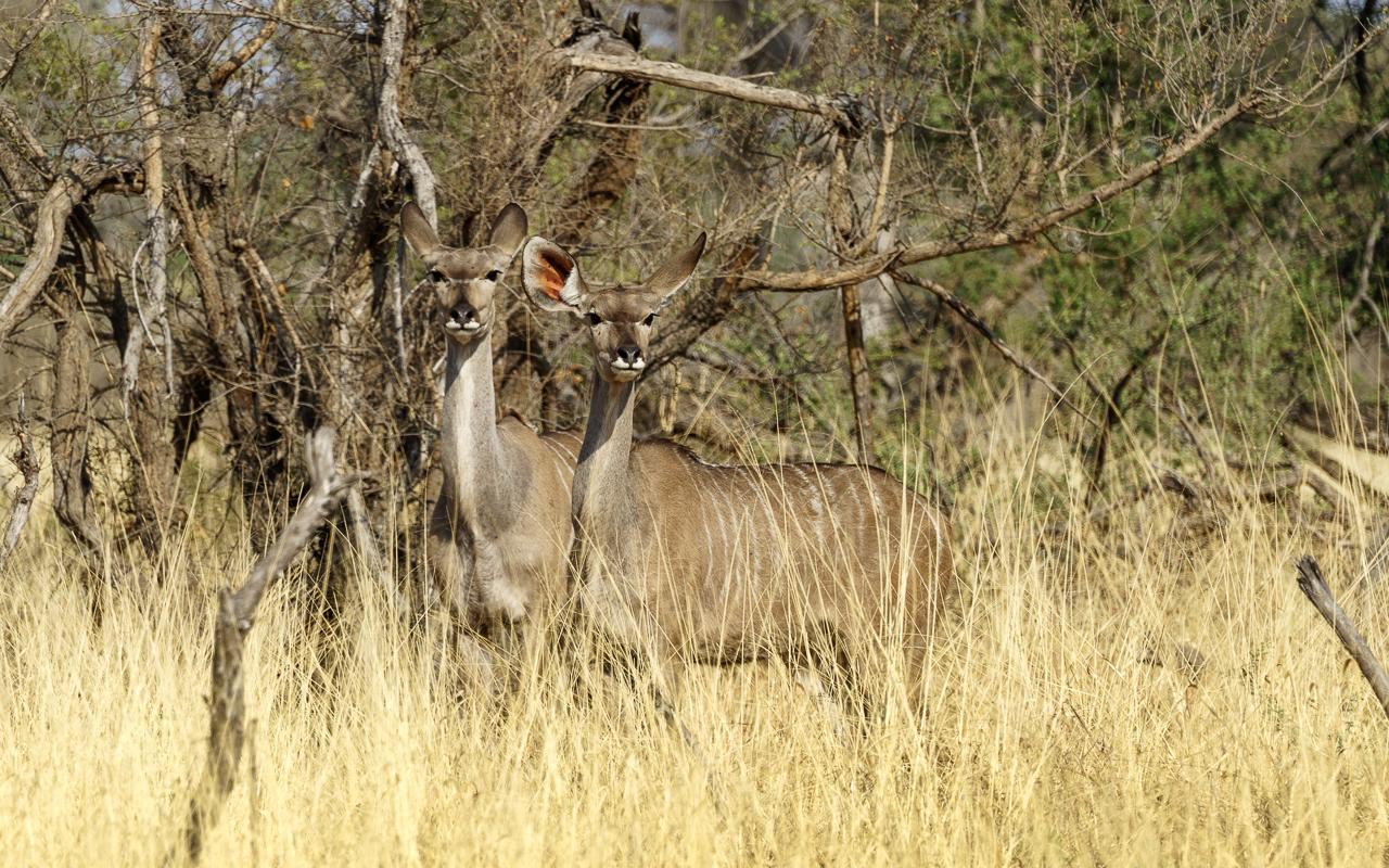 botswana-reisebericht-savuti-kudu