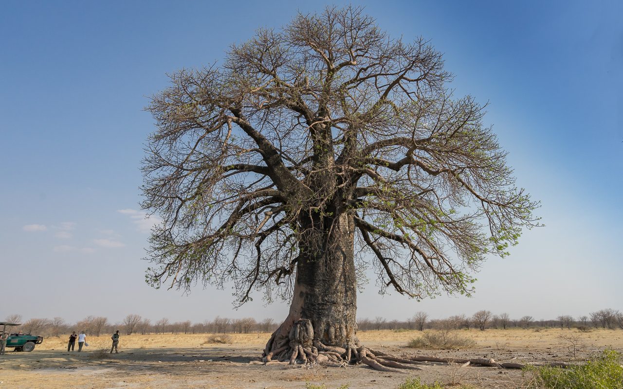 gweta-ntwewe-pan-baobab-botswana