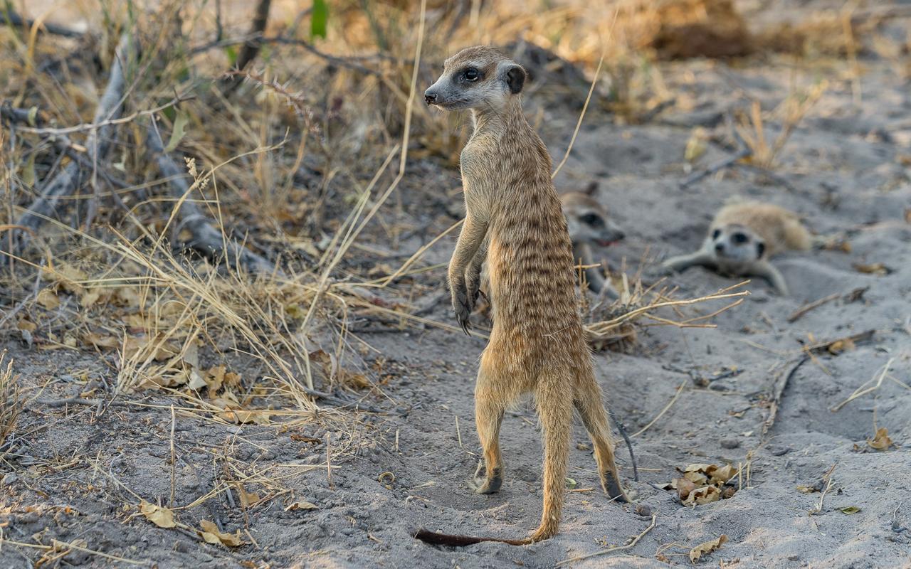 gweta-ntwewe-pan-meercats-2