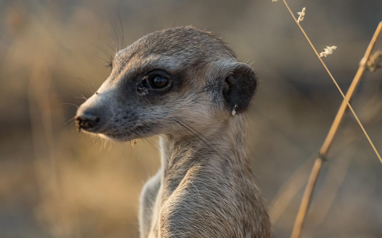 gweta-ntwewe-pan-meercats-4