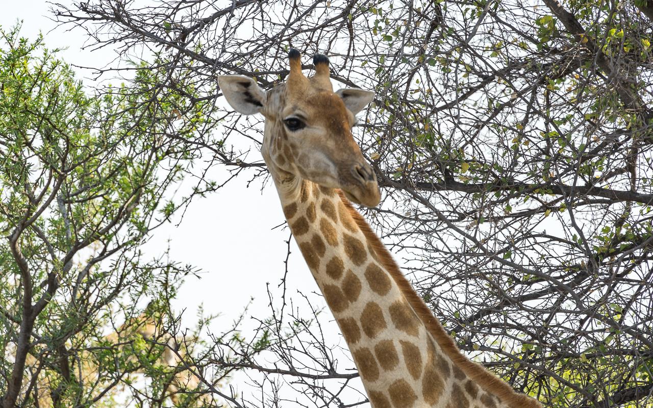 haina-lodge-ckgr-botswana-giraffe