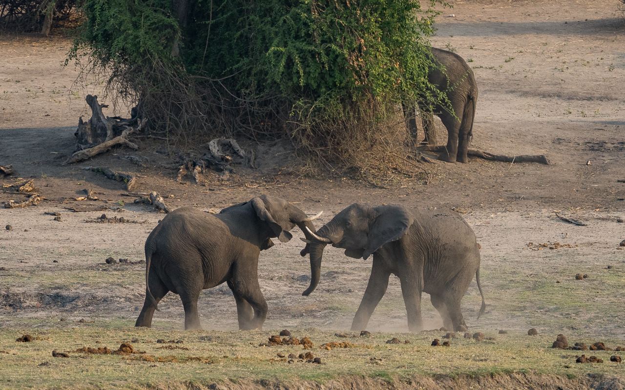 kasane-chobe-river-front-boot-cruise-elefanten-kampf