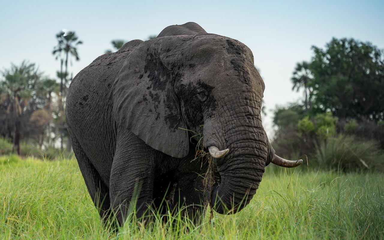 okavango-delta-elefant-fressen-3