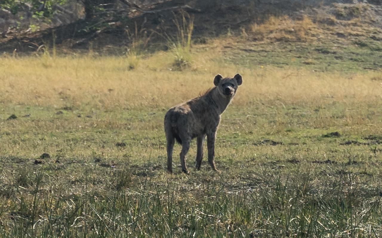 okavango-delta-hyaene