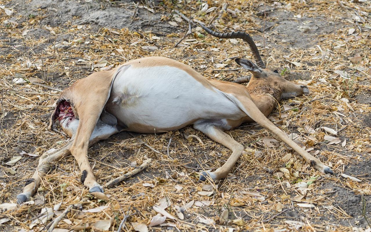 okavango-delta-impala-opfer-leopard