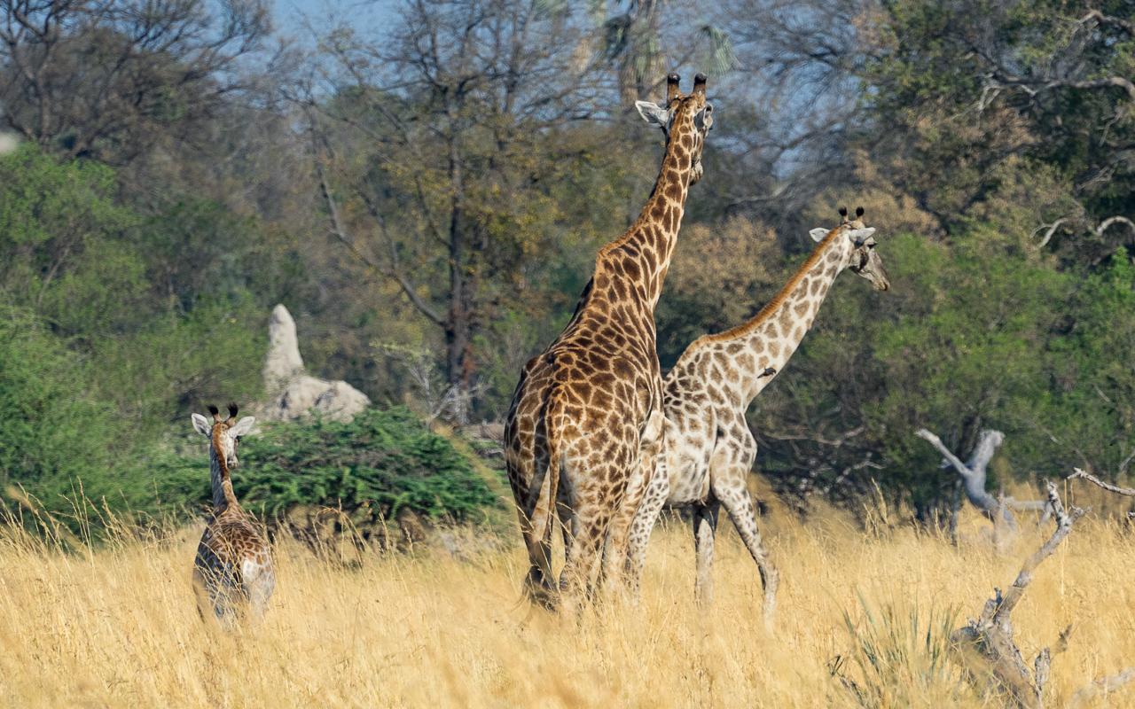 okavango-delta-moremi-crossing-giraffen-familie