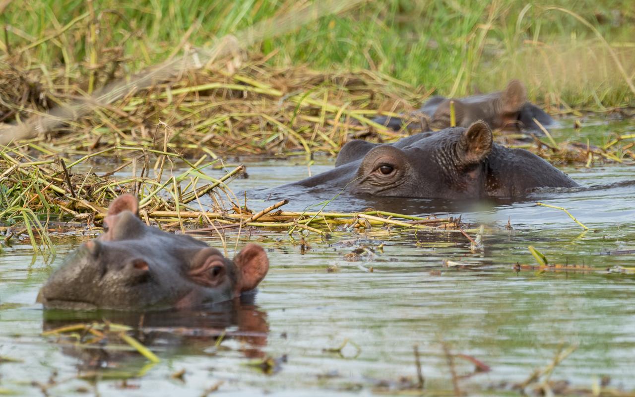 okavango-delta-moremi-crossing-nilpferde