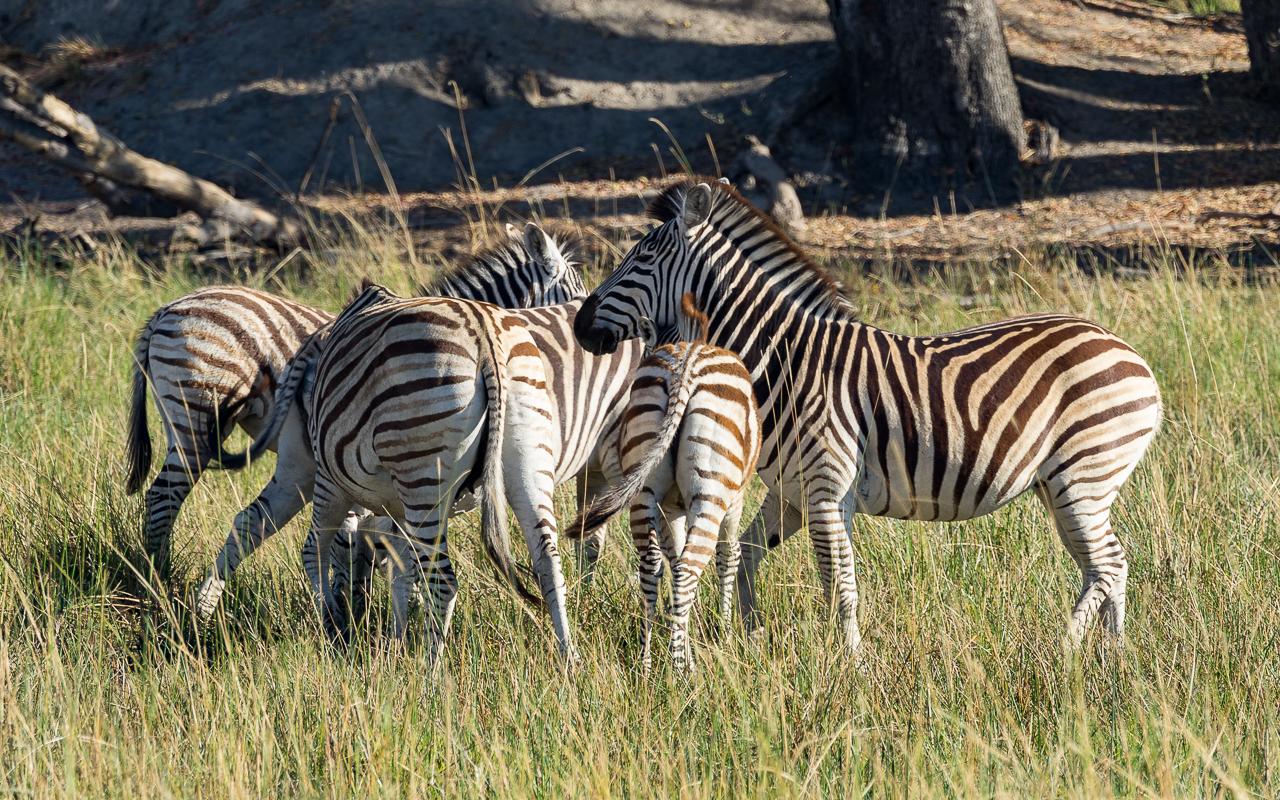 okavango-delta-zebras