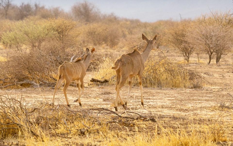 Impala beim Rhino Drive am Waterberg Plateau