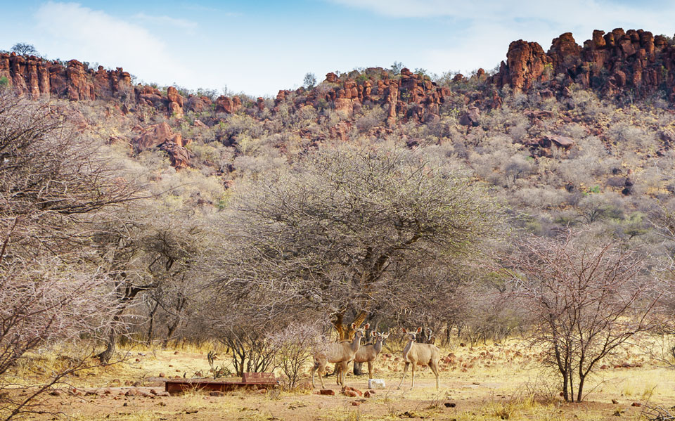Gut getarnte Impala am Waterberg Plateau