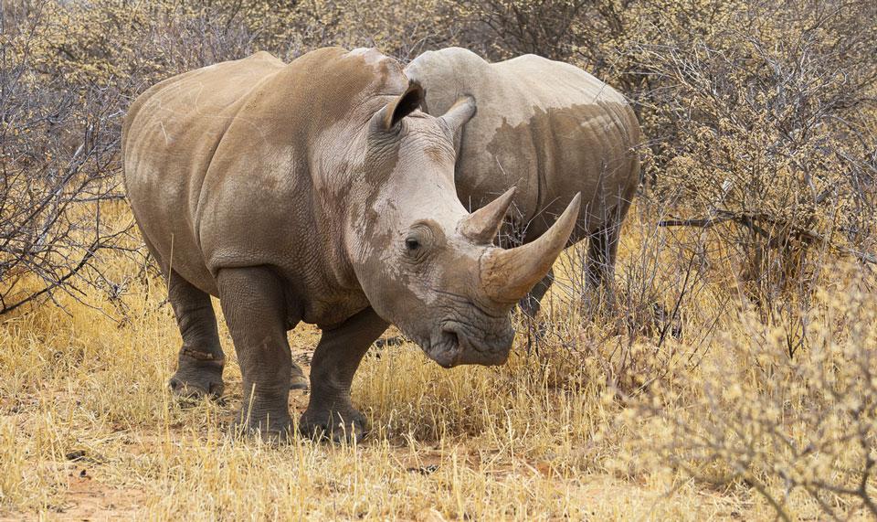 Nashörner beim Rhino Drive am Waterberg Namibia