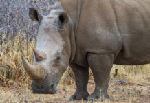 Face to Face mit einem Nashorn beim Rhino Drive Waterberg Plaeteau Namibia
