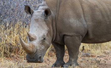 Face to Face mit einem Nashorn beim Rhino Drive Waterberg Plaeteau Namibia