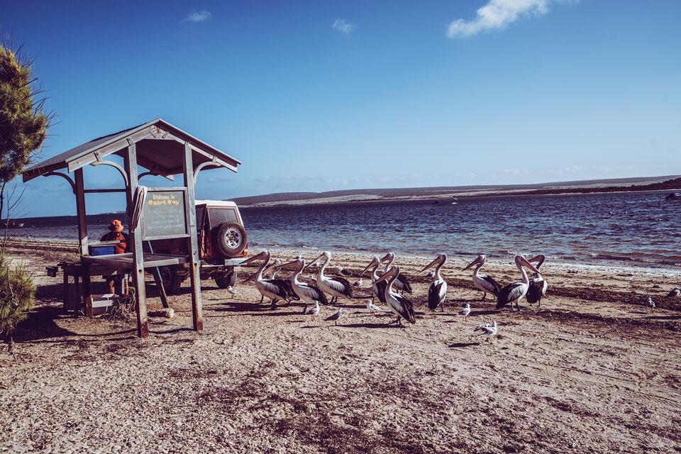 Pelikane bei Baird Bay