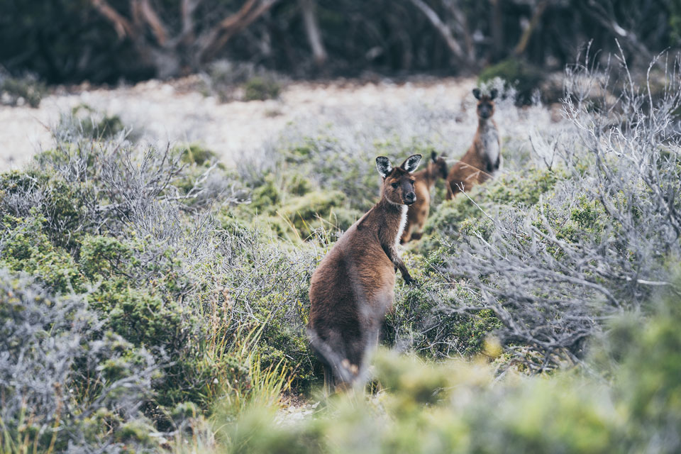 Kangaroo Island Kängurus
