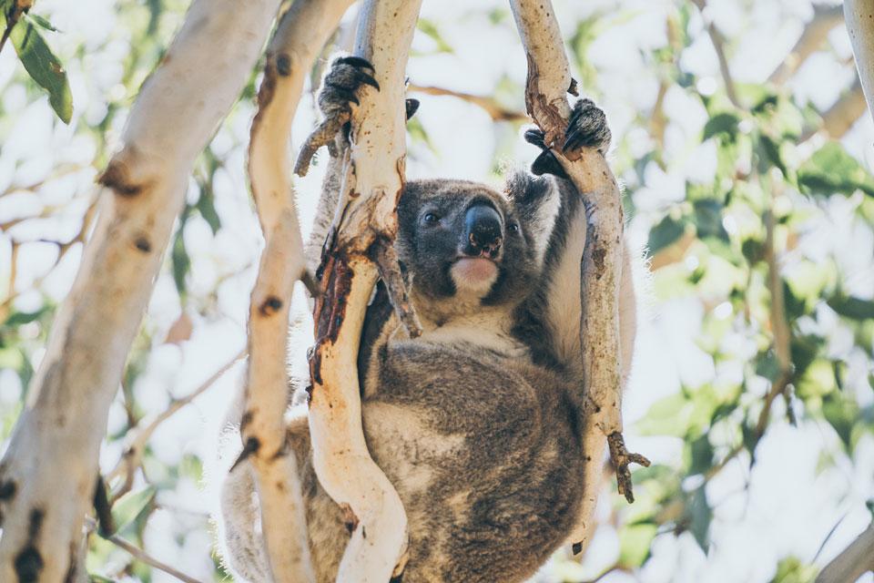 Koalabär Kangaroo Island
