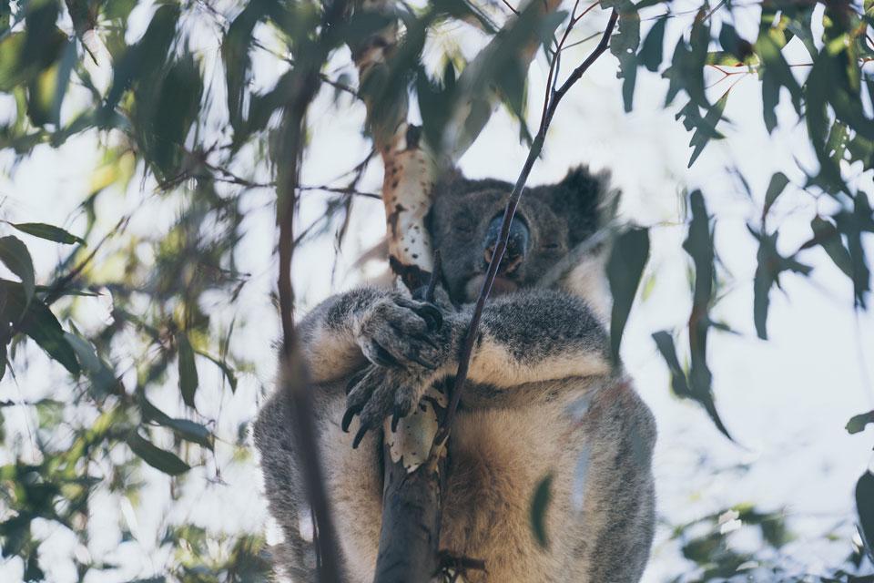 Koala schläft in Baum Kangaroo Island