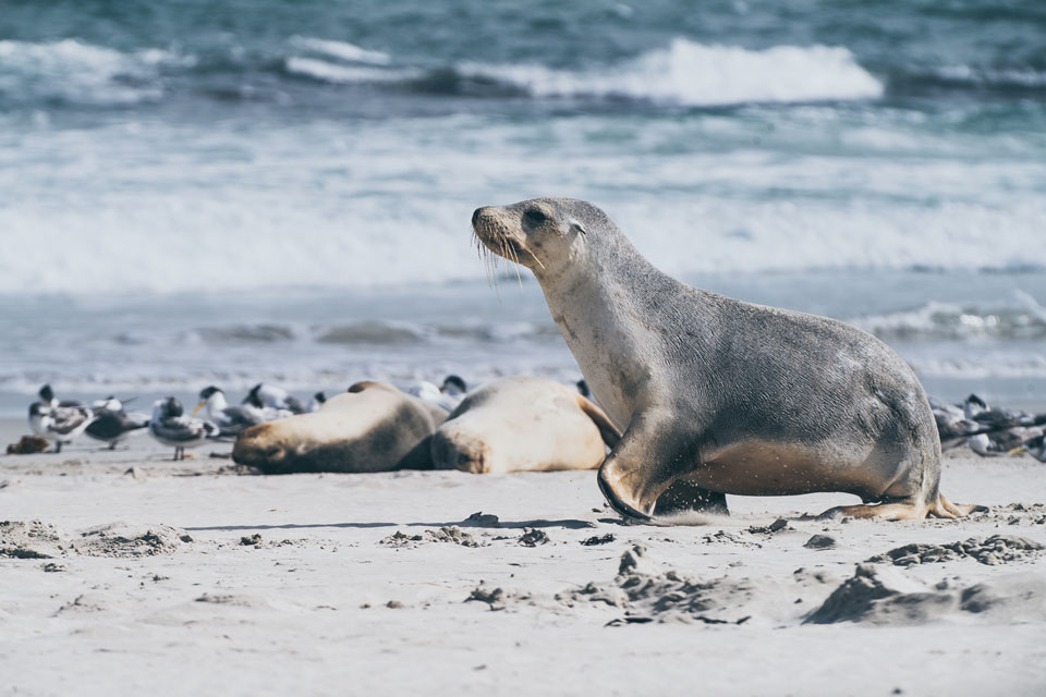 Kangaroo Island kleiner Seelöwe Seal Bay