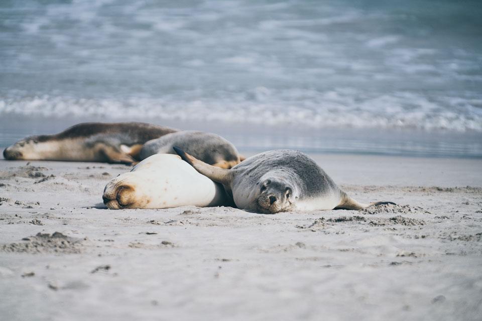 Seelöwen Kolonie Seal Bay Kangaroo Island