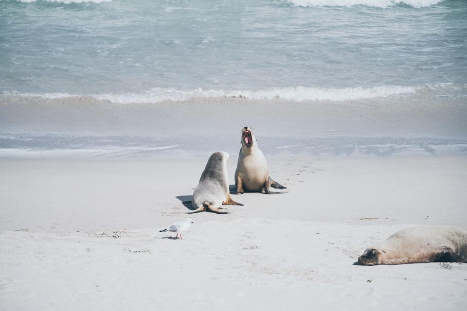 Seal Bay Kangaroo Island Seelöwen