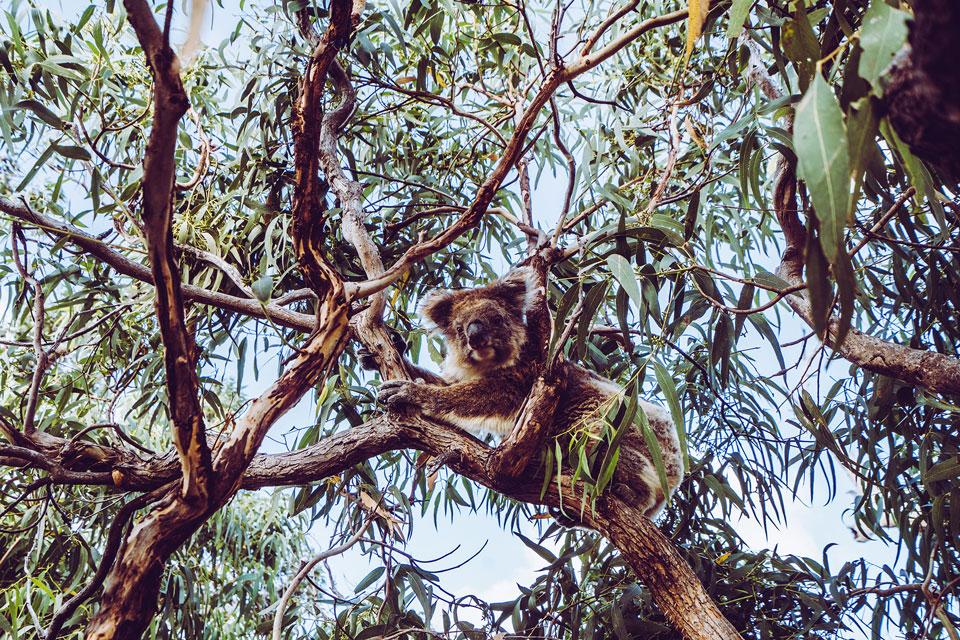 Mikkira Station Koalas Australien