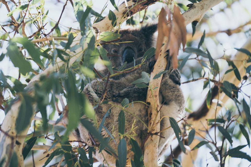 Koala umarmt Baum Kangaroo Island