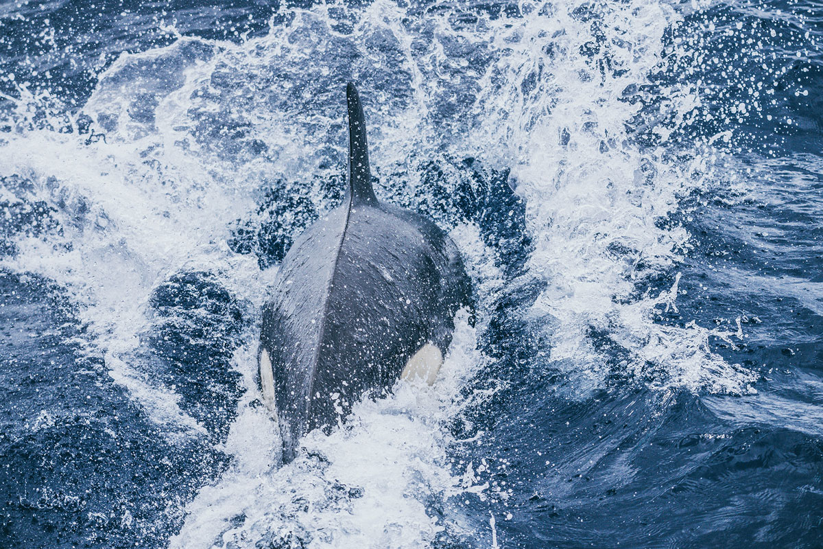 Orca | Bremer Bay, Australien