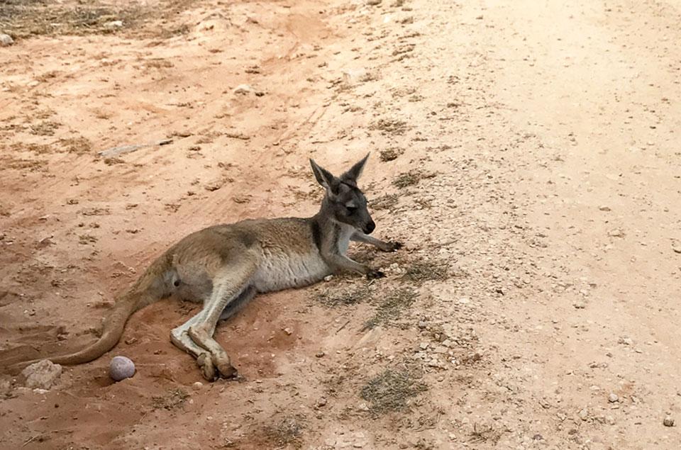 ningaloo-reef-sal-salis-kangaroo