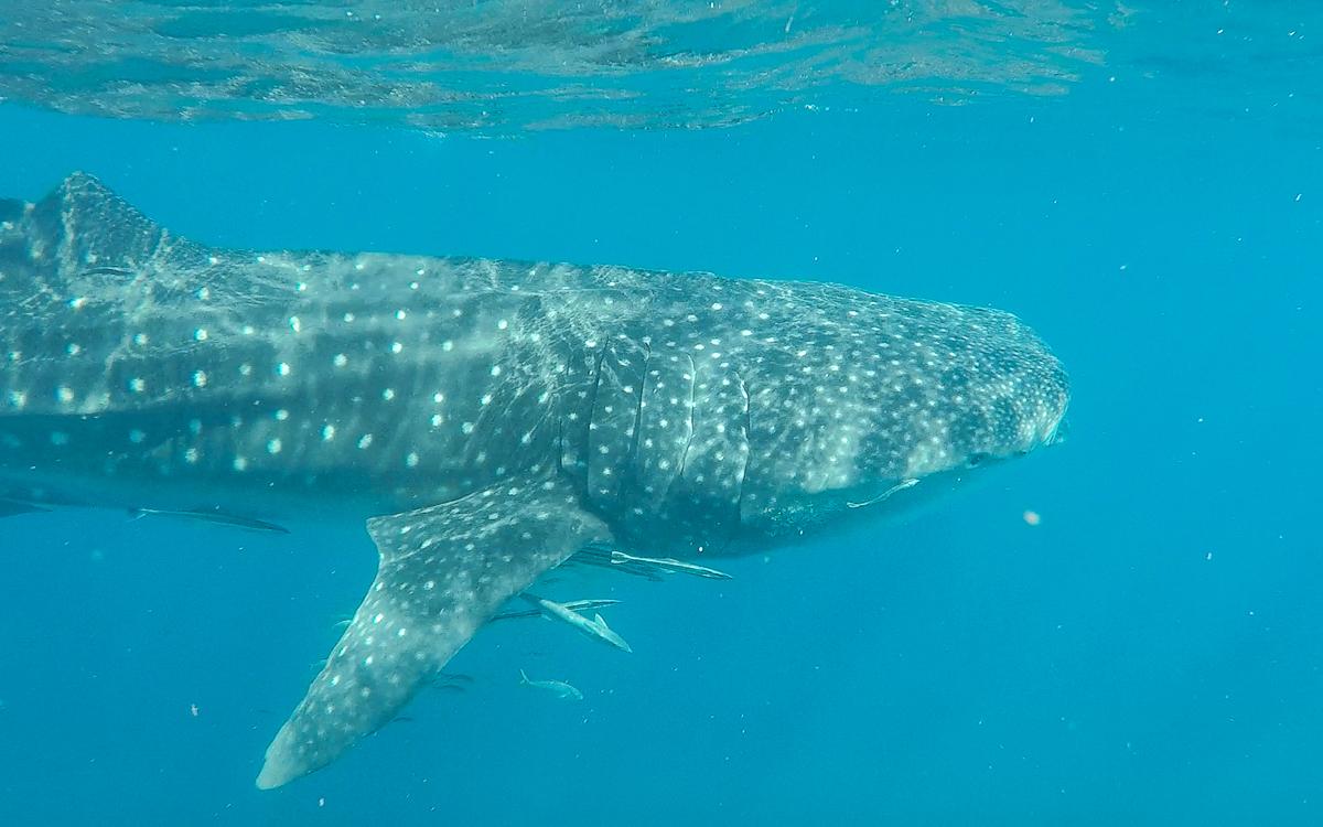 Schwimmen mit Walhaien |Ningaloo Reef, Westaustralien
