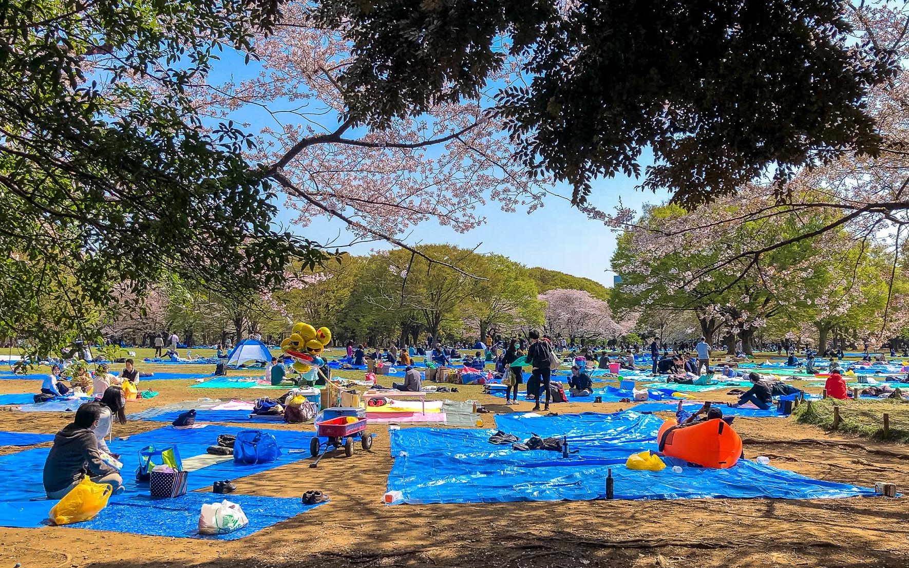 Yoyogi Park in Tokio zur Kirschblüte