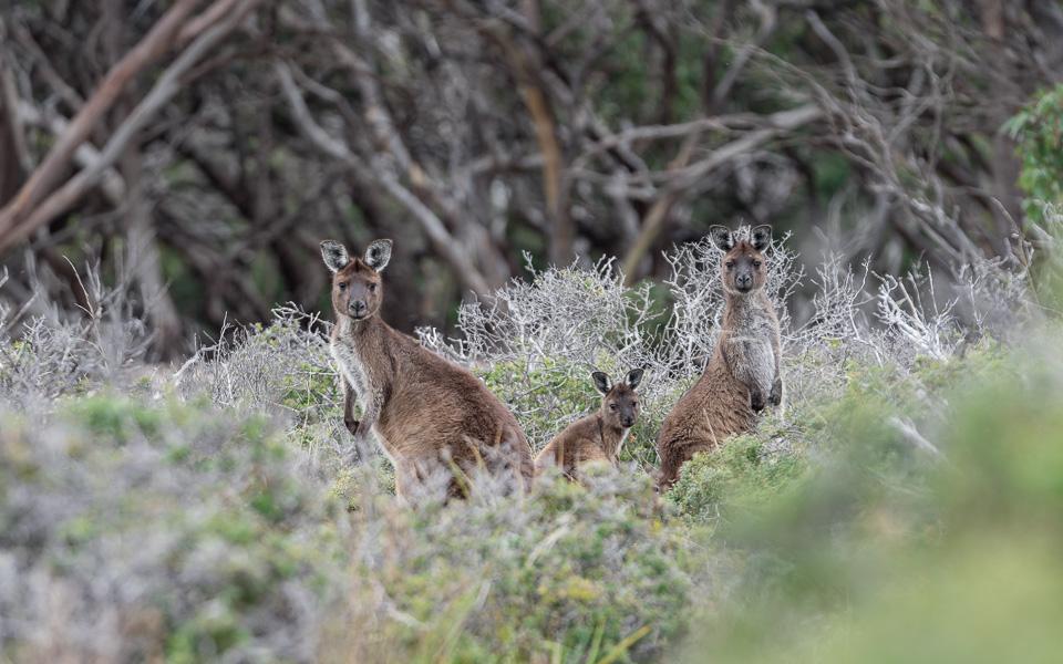 Kangaroo Island Highlights Kängurus