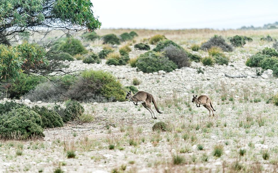 Springende Kängurus |Kangaroo Island