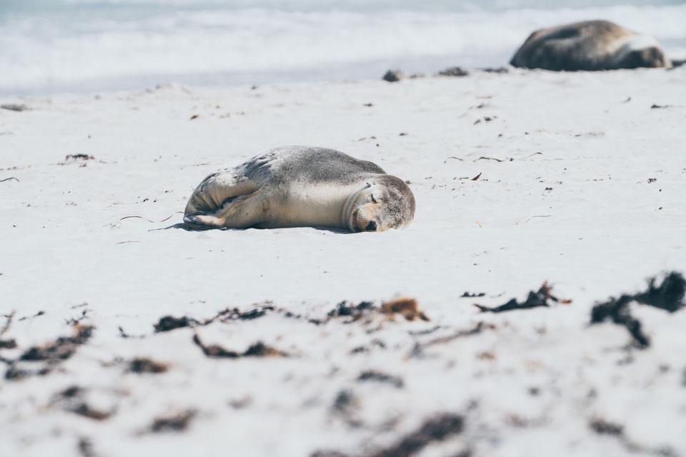 Kangaroo Island Seal Bay Seelöwe