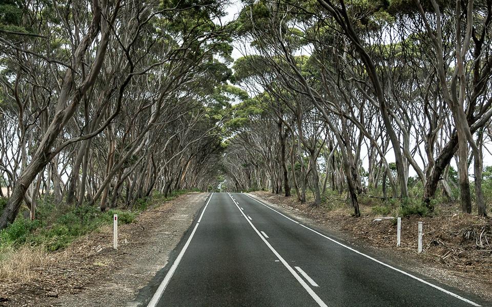 Eine Allee aus Eukalyptusbäumen Kangaroo Island