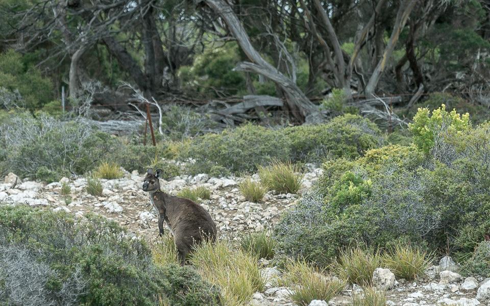 Känguru Kangaroo Island Wildlife