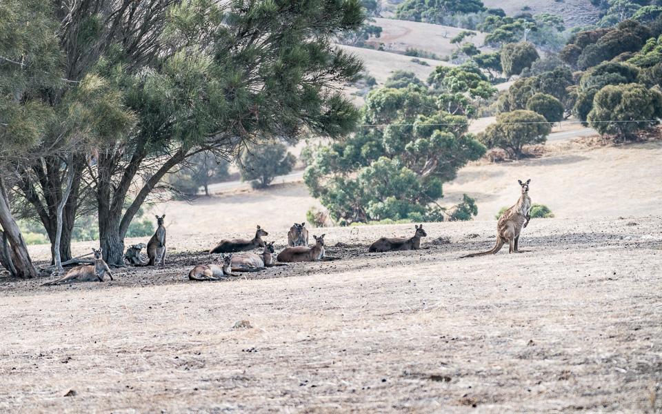 kangaroo-island-kangurus-2