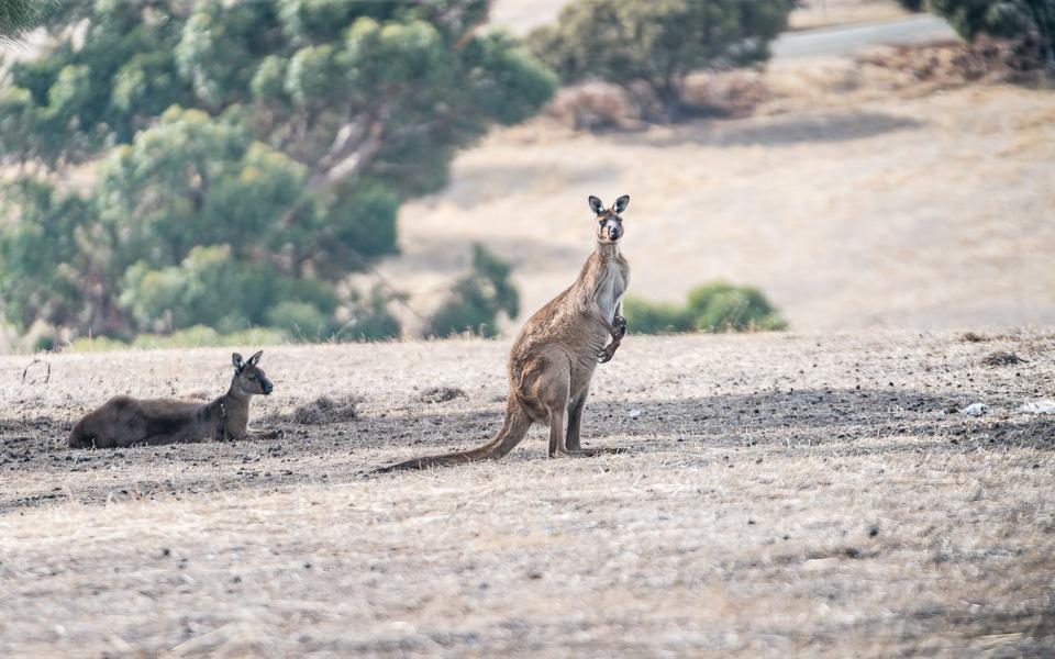 kangaroo-island-kangurus