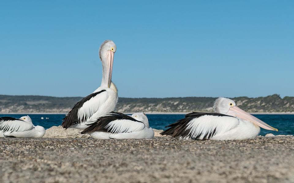 kangaroo-island-pelikane