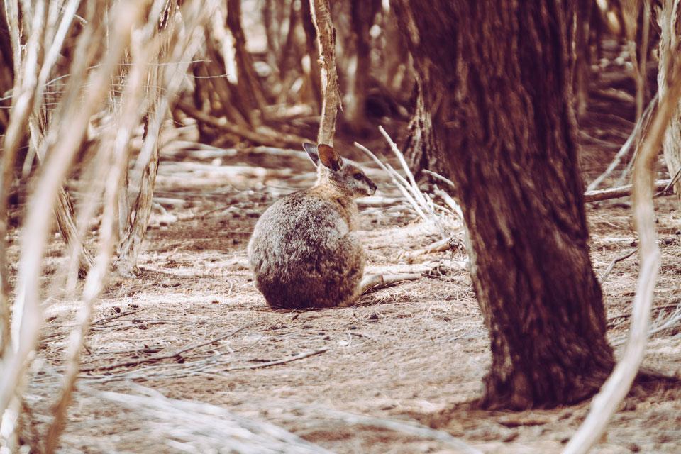 Wallabie Kangaroo Island