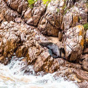 Knysna Heads |Seelöwen & Robben |Garden Route Südafrika