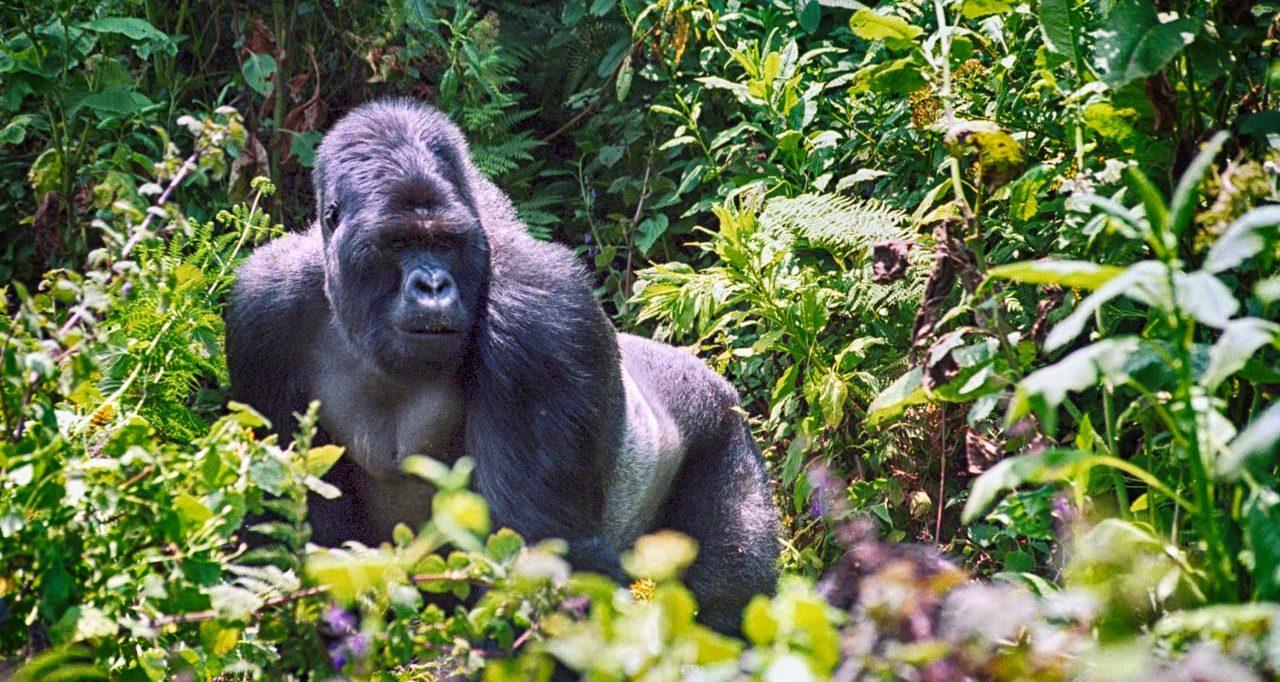 Reisetipps Juni Gorilla Trekking