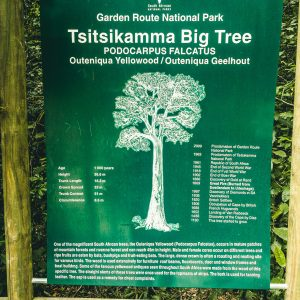 Information zum Big Tree | Tsitsikamma Nationalpark